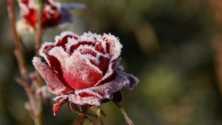 flower, rose, bud