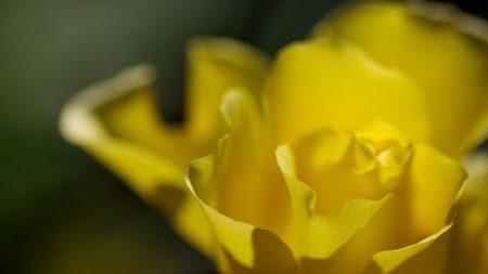 flower, rose, petal