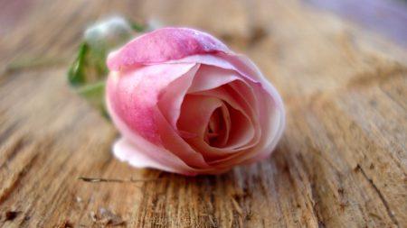 flower, rose, tree