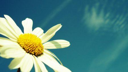 flower, sky, chamomile
