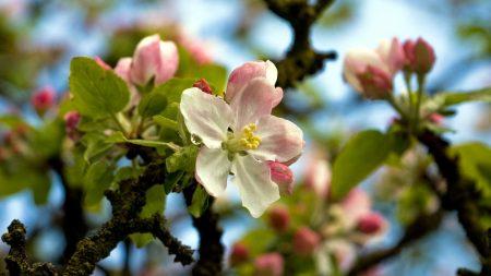 flower, tree, spring