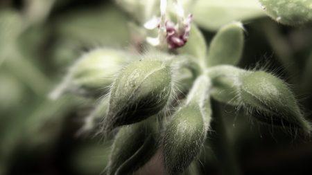 flower, velvety, green