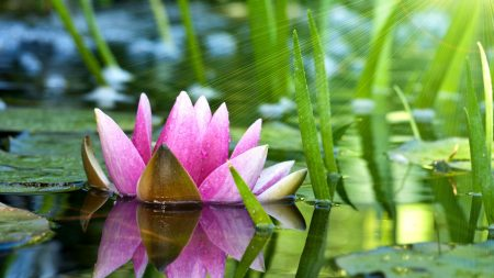 flower, water lily, lotus