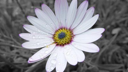 flower, white, striped