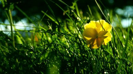 flower, yellow, grass