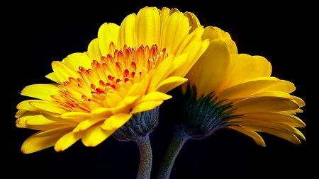 flower, yellow, reflection