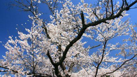 flowering, branches, sakura