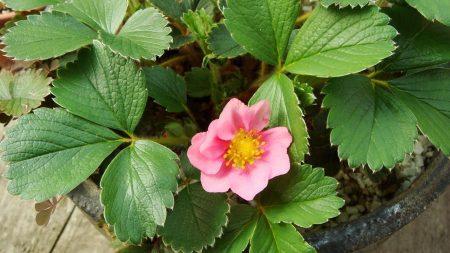 flowering, plants, strawberries