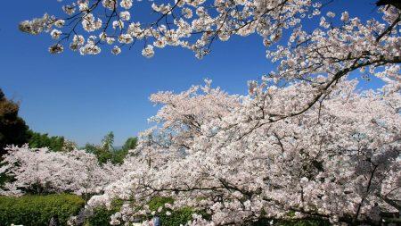 flowering, spring, branch