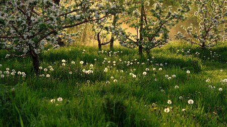 flowering, spring, dandelions