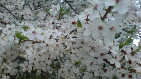 flowering, trees, branches