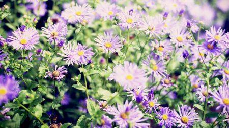 flowers, asters, flowerbed