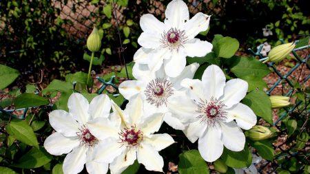 flowers, bindweed, grid