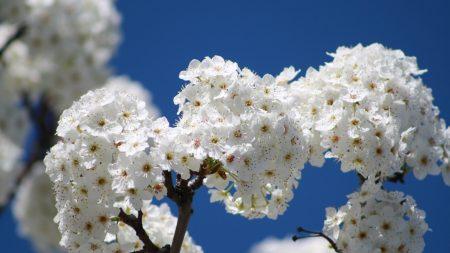 flowers, bloom, tree