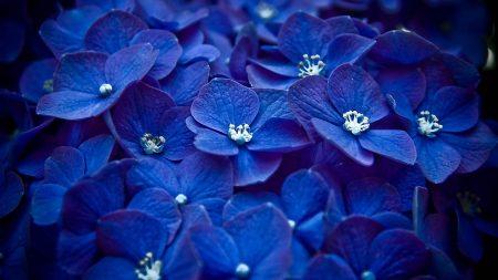 flowers, blue, petals