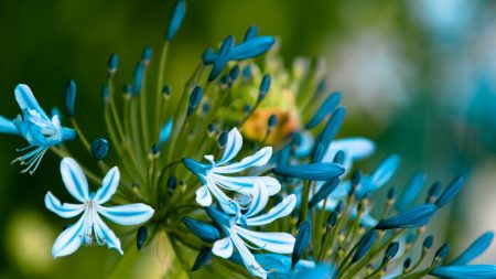 flowers, blue, white