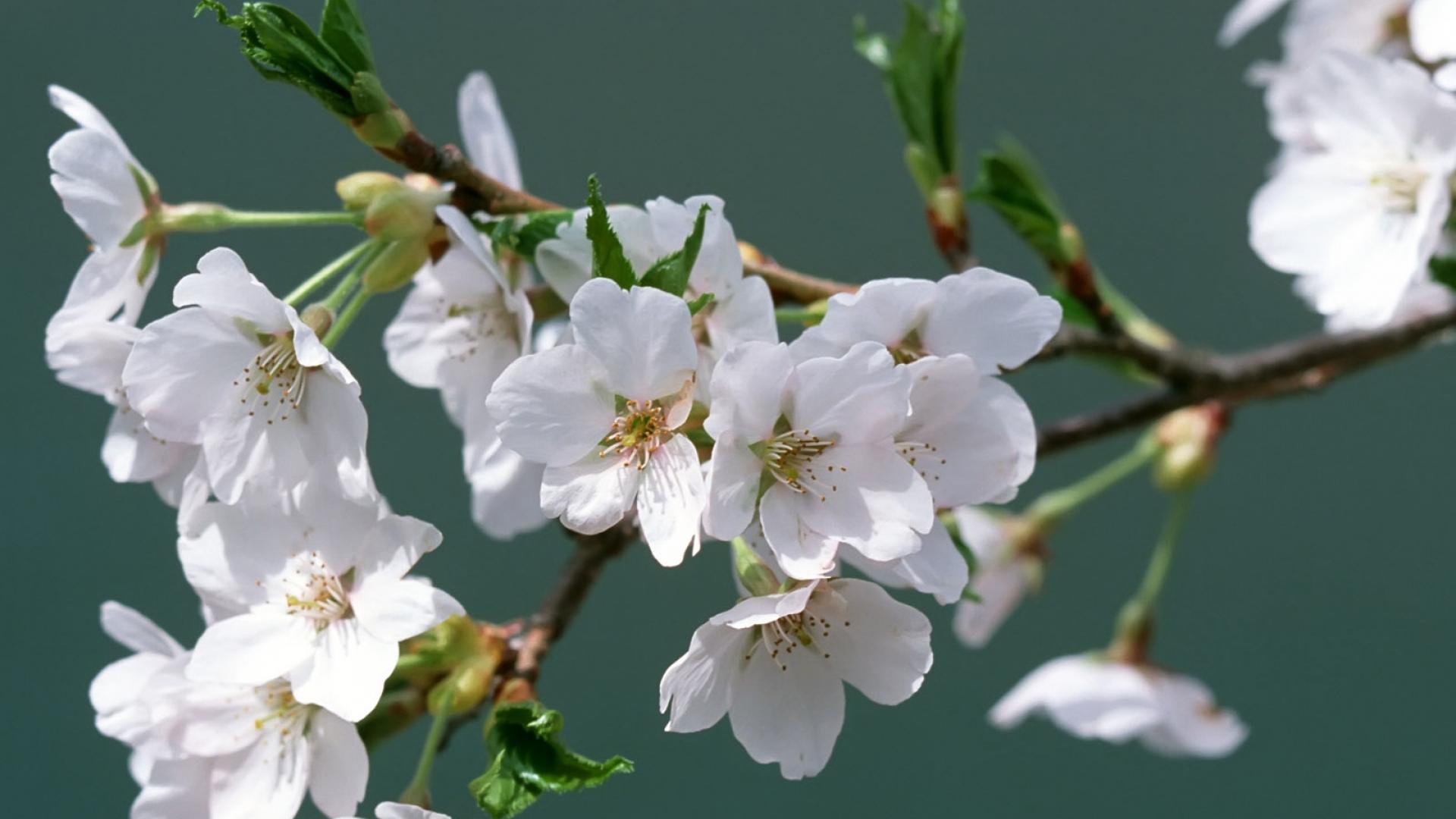 ветка цветущей вишни фото несколько