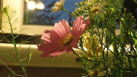 flowers, chamomile, evening