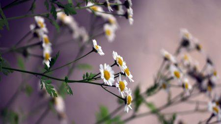 flowers, daisies, blurring