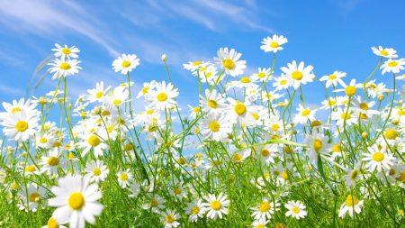 flowers, daisies, field