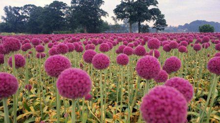 flowers, field, balls
