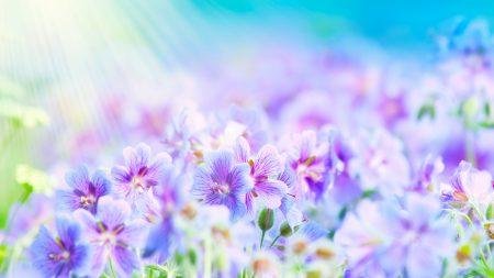 flowers, field, rays