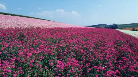 flowers, field, series