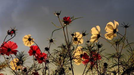 flowers, field, sky