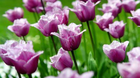 flowers, field, tulips