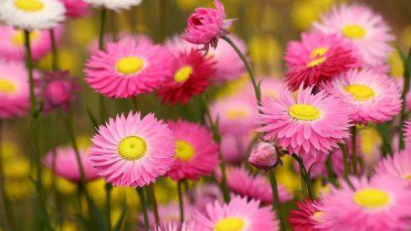 flowers, flowerbed, pink