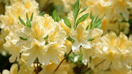 flowers, flowering tree, yellow