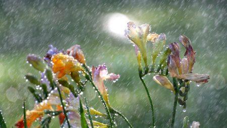 flowers, freesia, rain