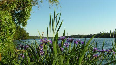 flowers, irises, coast