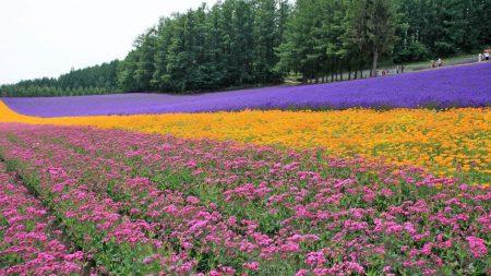 flowers, lavender, field