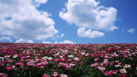 flowers, lots, field