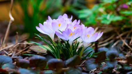 flowers, macro, snowdrop