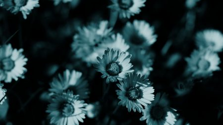 flowers, night, chamomile