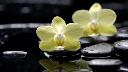 flowers, orchids, phalaenopsis