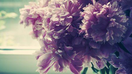 flowers, peonies, flower