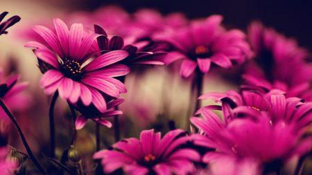 flowers, petals, pink