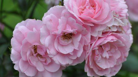 flowers, pink, garden
