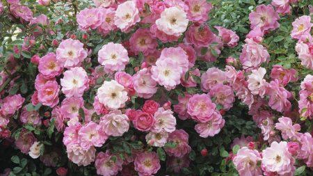 flowers, pink, lots