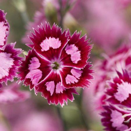 flowers, pink, purple