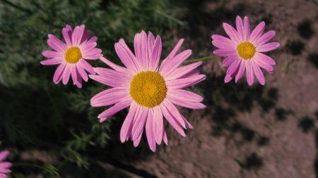 flowers, pink, sharpness