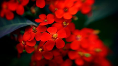 flowers, plants, red