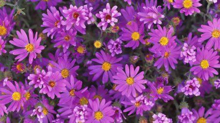 flowers, purple, petals