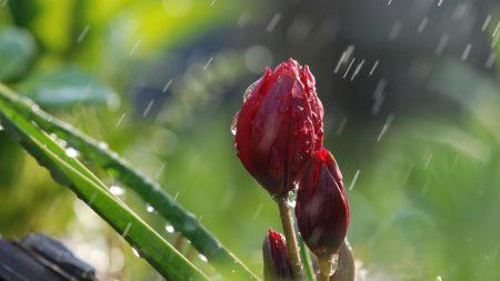 flowers, rain, buds