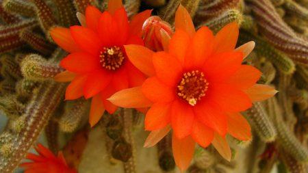 flowers, red, cactus