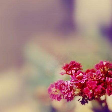 flowers, red, petals