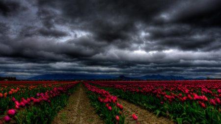 flowers, sky, clouds